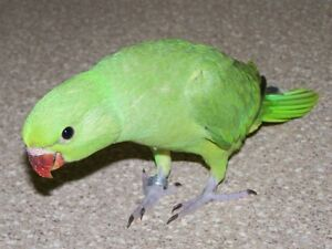 ❤**Baby Indian Ringnecks Available **❤