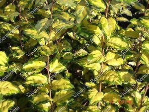 5 piante da siepe di elagnus aurea piantine in vaso per for Siepe in vaso