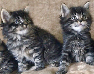 Ready to Go Siberian Kittens (100% Hypoallergenic Guarantee)