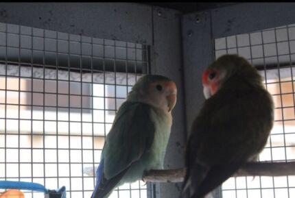 Bird Boarding Penrith Area ||Bird Sitting