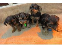 Full breed yorkshire terrier