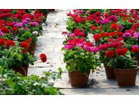 Geraniums in pots only £1 each - plants for sale