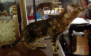 TICA Registered Purebred Bengal Adults looking for a loving home Stratford Kitchener Area image 3