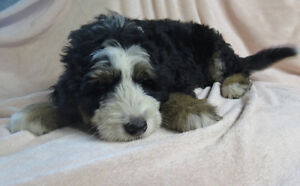 Bernedoodle pups ready NOW for adoption for your vacation