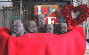 Beautiful Blue French Bulldog Puppies ready for Valentines Day