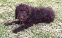 Sweet F1b Goldendoodle for Sale