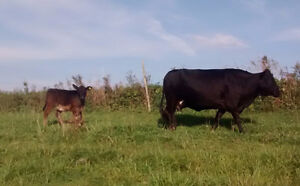 Dexter cow/calf pair