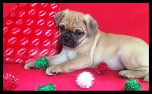 Bébé Pug Mini ♥Vacciné ♥Garanties Santé (Ressemble Mini Masstiff