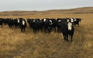 BIRCHAM BBF BRED HEIFERS FOR SALE Regina Regina Area image 1