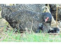 Maran Bantam hen with 9 chicks at foot