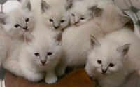 Gorgeous Lynx point Ragdoll Siamese Kittens