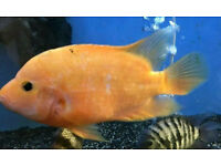 "Large 7-11"" Cichlids REDUCED!"