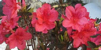 10 - Fashion Azalea Flowering Shrubs in 2.5 x 3 Pots