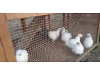 White Chickens For Sale