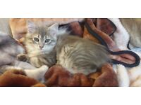Male Siberian kitten looking for his new home