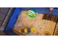 One 6 month old Roborovski hamster available for adoption. FREE