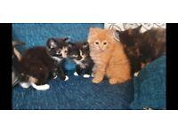Beautiful persian cross kittens