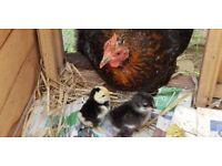 Bantam hen and 2 chicks