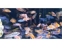 Aquarium peacocks and haps fish tank