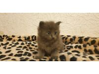 TICA Registered Maine Coons Of Various Colours Have Pick of the Litter!