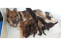 Shepherd In Devon Dogs Puppies For Sale Gumtree