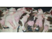 Stunning Champion Sired English Bulldog puppies