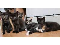 Black kittens for sale (Shepherd's Bush)