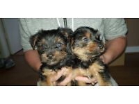 Yorkshire Terriers for sale.