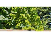 Hops for beer brewing, sleep aide hop pillows, hop garlands or decorations