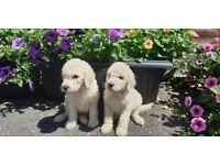 Standard Poodle Puppy - KC registered