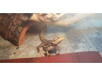 Baby Bearded Dragon with New Vivarium