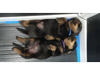 Pure Rottweiler Puppies-Male and Female, ready to leave on 2th March, 2021