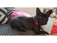 Female french bulldog 4yo very loving