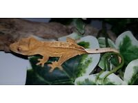 Absolutely stunning yellow baby crested gecko with high percentage pinstripe.