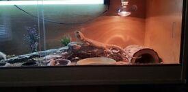 Citrus Bearded Dragon (Full setup)
