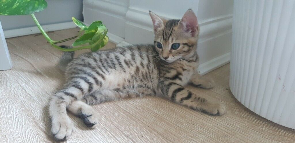 Bengal X Kitten For Sale The Last One In Maidstone Kent Gumtree