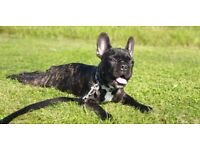 Gorgeous Puppy Female Black / Brindle French Bulldog