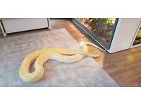Male Albino Burmese Python