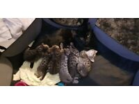 Beautiful rosetted and spotted full bengal kittens