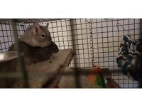 2 Male Degus 13 months old