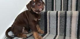 Chocolate tri olde tyme bulldog puppies