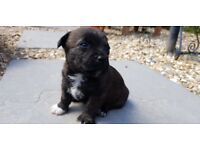 West Highland Terrier cross Jack Russel puppies