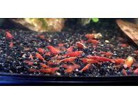 Red cherry Blue velvet Neon Yellow Shrimps Cleaning crew Fresh water