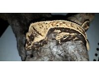 gorgeous dark based harlequin pinstripe crested gecko with awesome structure and lineage