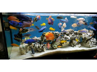 Fish tank accessories 8 large colour change cichlid tilapia