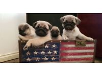 READY NOW PUG PUPPIES