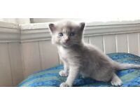 Russian Blue Nebulung kittens for sale!