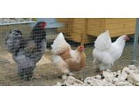 Pure Breed Brahma Chicks For Sale.
