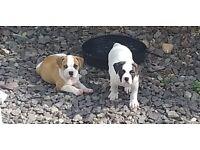 American bulldog puppies Top quality big chunky pups