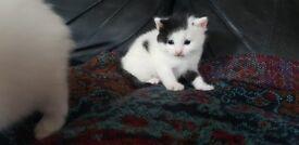 Cross turkish angora kittens